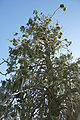 Calocedrus decurrens Big Bear Lake 2.jpg