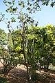 Calodendrum capense 4zz.jpg
