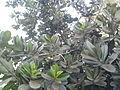 Calophyllum inophyllum (5).jpg