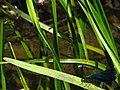 Calopteryx IMG 5478.jpg