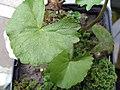 Caltha palustris 0zz.jpg