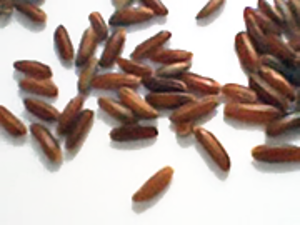 Camargue red rice - Grains of Camargue red rice