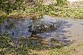 Cambodia. Water buffaloes. img 05.jpg
