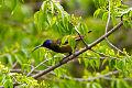 Cameroon Sunbird (Cyanomitra oritis).jpg