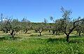 Camp d'oliveres a Alcosser, el Comtat.JPG
