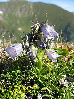 Campanula alpina.jpg