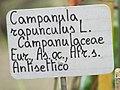 Campanula rapunculus L campanulaceae 10-18 1418.jpg