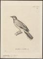 Campephaga lobata - 1700-1880 - Print - Iconographia Zoologica - Special Collections University of Amsterdam - UBA01 IZ16500381.tif