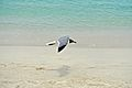 Caneel Bay Seagulls By Caneel Beach 15.jpg