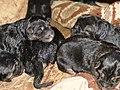 Canidae Canis familiaris 8.jpg