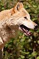Canis lupus lupus portrait 01.jpg