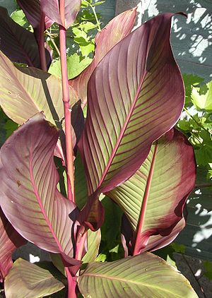 English: Canna Foliage Group 'Auguste Ferrier'