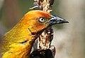 Cape Weaver, Ploceus capensis at Walter Sisulu National Botanical Garden - male (9648346244).jpg