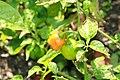 Capsicum chinense Scotch Bonnet 3zz.jpg