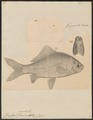 Carassius auratus - 1833-1850 - Print - Iconographia Zoologica - Special Collections University of Amsterdam - UBA01 IZ15000052.tif