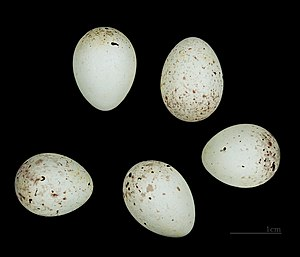 Citril finch - Carduelis citrinella MHNT