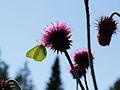 Carduus thoermeri-IMG 5630.jpg
