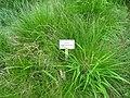 Carex appropinquata - Berlin Botanical Garden - IMG 8471.JPG