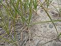 Carex douglasii (5124268234).jpg