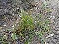 Carex houghtoniana 48733722.jpg