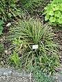 Carex morrowii - Botanischer Garten München-Nymphenburg - DSC07738.JPG