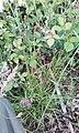Carex ovalis plant (02).jpg