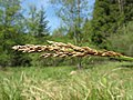 Carex paniculata inflorescens (03).jpg