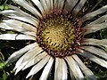 Carlina acaulis blossom.jpg