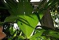 Carludovica palmata 4zz.jpg
