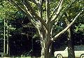 Carpinus caroliniana trunk.jpg