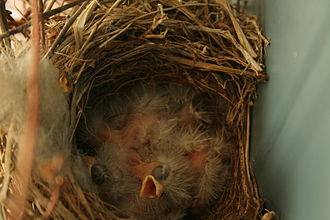 House finch - Same nest with young nestlings
