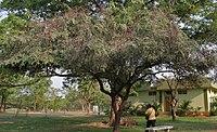 Cassia roxburghii (Red Cassia) in Hyderabad W IMG 7067