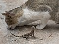 Cat biting the tail of a lizard (2).jpg