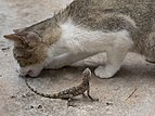 Cat biting the tail of a lizard (2).jpg
