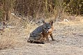 Catalina Island Fox (Urocyon littoralis catalinae) sitting on trail.jpg