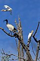 Cattle Egrets (30542722763).jpg