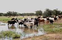 Cattle mare de kissi.jpg