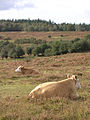 Cattle resting on the edge of Fritham Plain, New Forest - geograph.org.uk - 69317.jpg