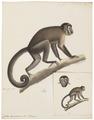 Cebus capucinus - 1818-1842 - Print - Iconographia Zoologica - Special Collections University of Amsterdam - UBA01 IZ20200176.tif