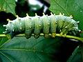 Cecropia Moth caterpillar.jpg