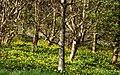 Celandine, Carnfunnock Country Park - geograph.org.uk - 763420.jpg
