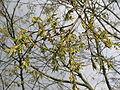 Celtis australis flowering.jpg