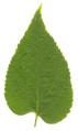 Celtis occidentalis leaf.png