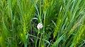 Cepaea snail on hordeum, Yerevan 04.jpg