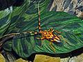 Cerambycidae - Batus barbicornis.JPG