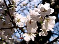 Cerasus x yedoensis - Flickr - odako1 (1L).jpg