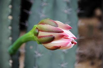 Cereus (plant) - Flower of Cereus neotetragonus