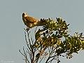 Cernicalo vulgar (falco tinnunculus canariensis) (3031982765).jpg