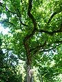 Chêne pédonculé - Arboretum Angers.jpg