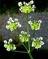 Chaerophyllum temulum inflorescence (17).jpg